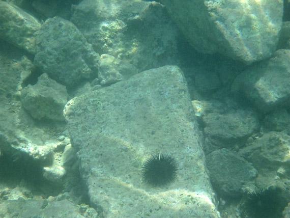 Un arici de mare fotografiat la cca. 2 metri sub apa, cu functia dedicata pentru Snorkeling