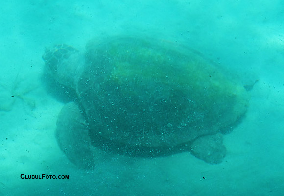 Broscuta Carreta Carreta - foto subacvatica