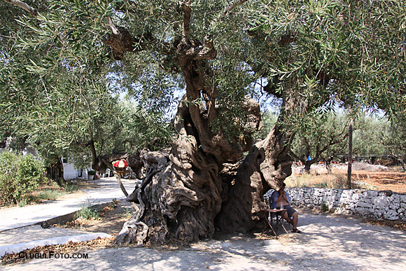 Cel mai batran maslin de pe insula Zakynthos