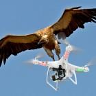 Politia olandeza antreneaza vulturi pentru doborarea dronelor