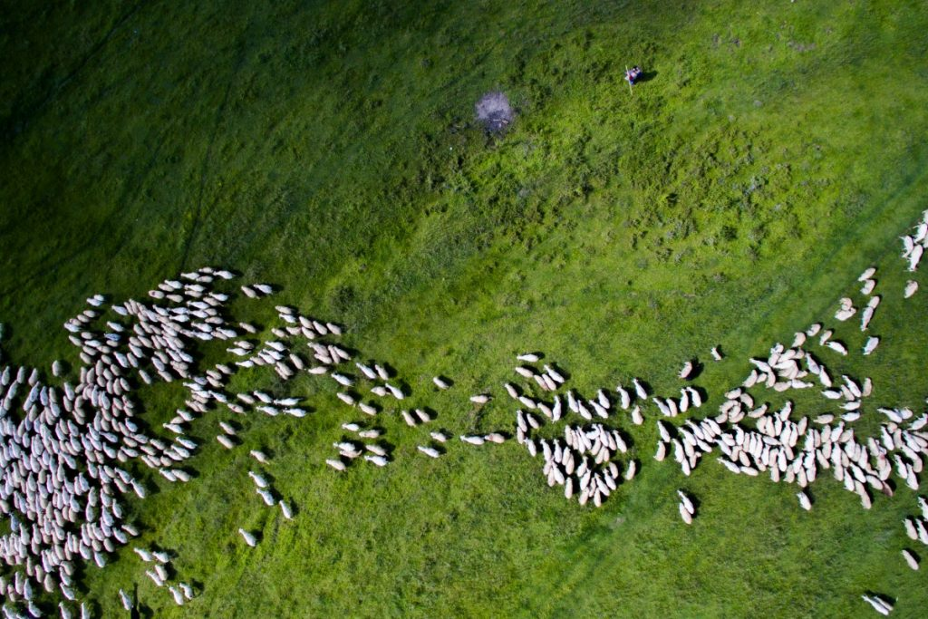Swarm of sheep - Szabi Igcnaz