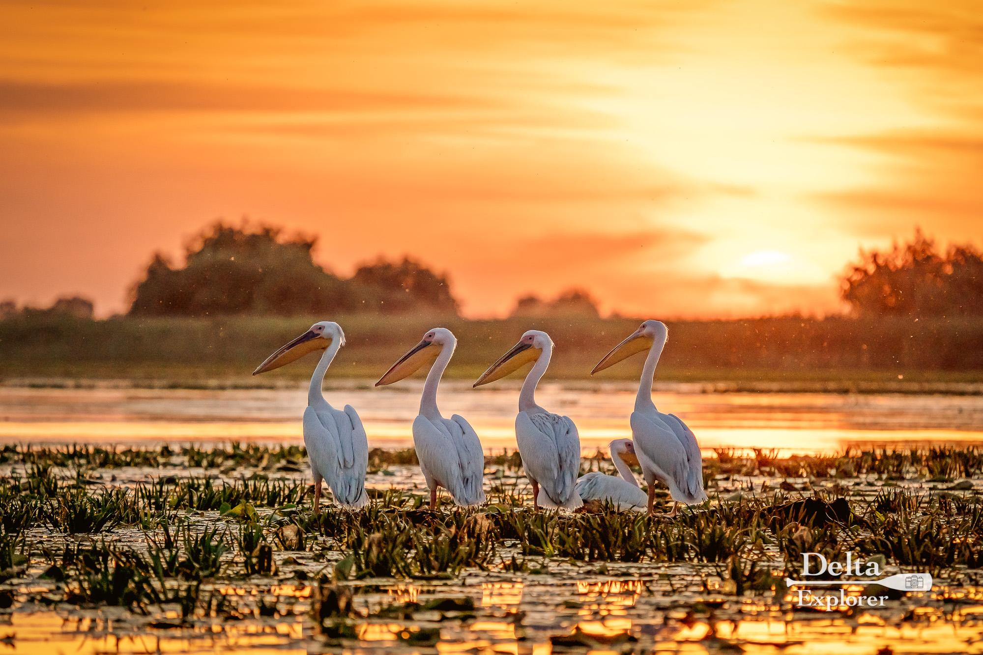 Image result for pelicani delta dunarii